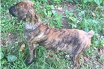 Picture of Brindle female puppy