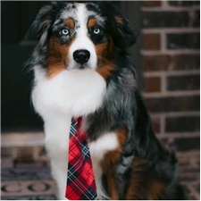 View full profile for Bluebonnet Ridge Aussies