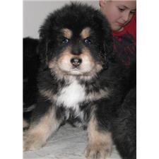 View full profile for Panchen Tibetan Mastiffs