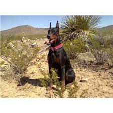 View full profile for Kongs Cave Dobermans