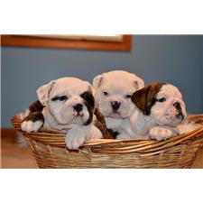 View full profile for Atkins English Bulldogs