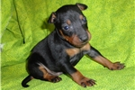 Picture of Manchester Terrier  male pup