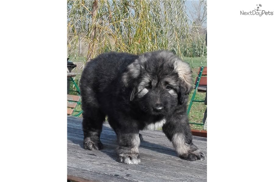 Caucasian Mountain Dog Puppy For Sale Near Budapest Hungary
