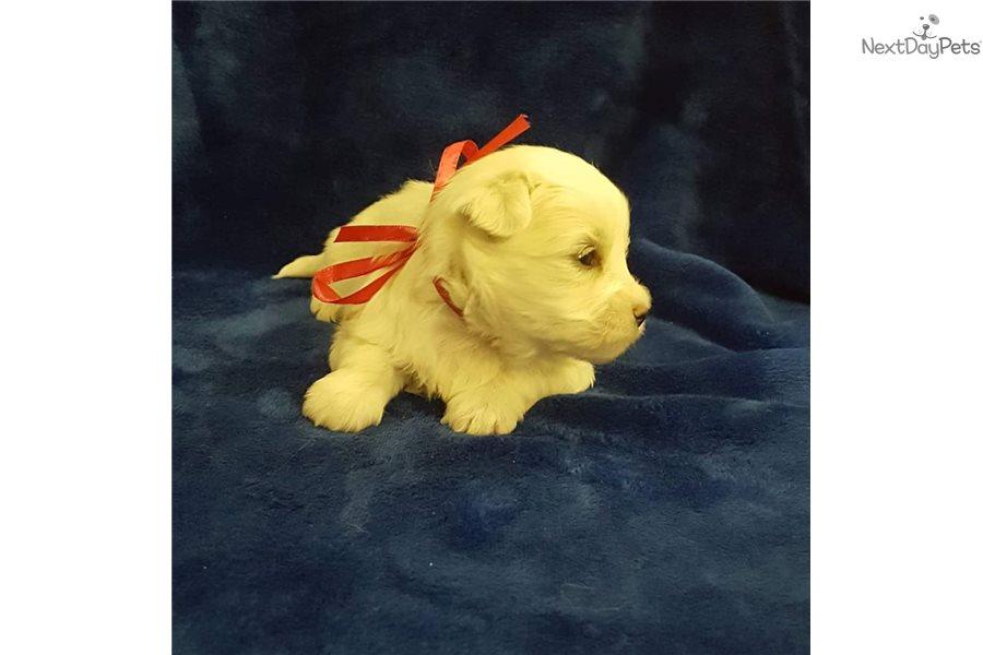Coton De Tulear Puppy For Sale Near Budapest Hungary 6f034fc2 14f1