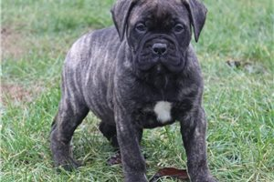 Bullmastiffs for sale
