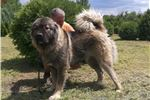 Estrela Mountain Dog for sale