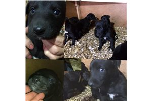 Picture of Black pups