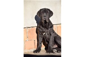 Blackie | Puppy at 31 weeks of age for sale