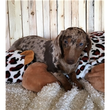 View full profile for Rockin L Dachshunds