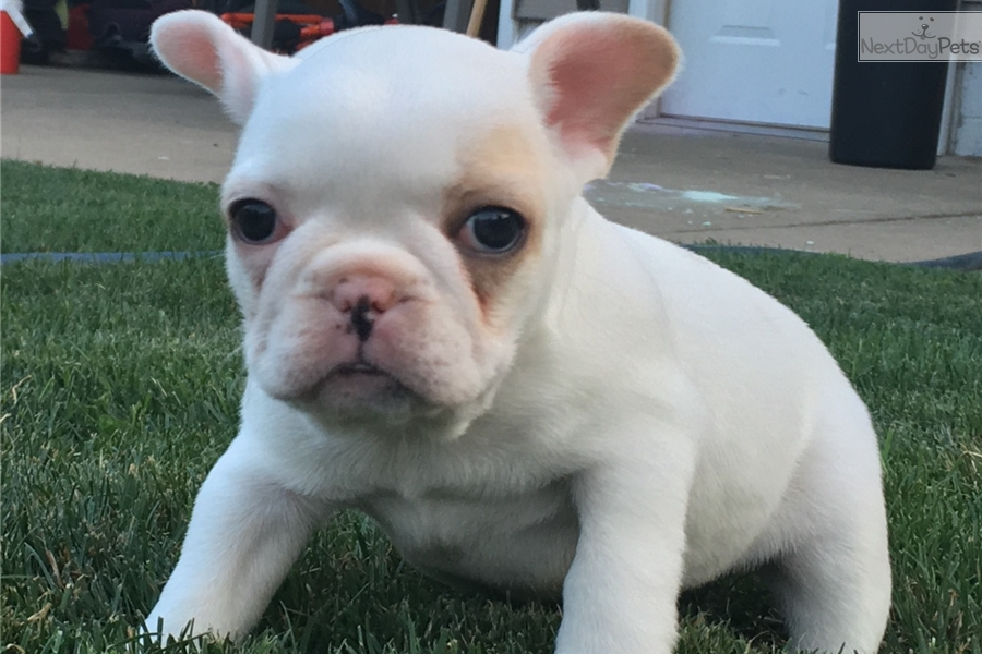 french bulldog for sale mn french bulldog puppy for sale near rochester minnesota 3509
