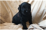 Picture of AKC Registered Beautiful Black Russian Terrier