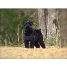 View full profile for Cawein Schnauzers