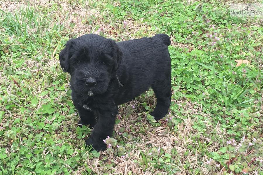 Giant Schnauzer: Schnauzer, Giant puppy for sale near ...