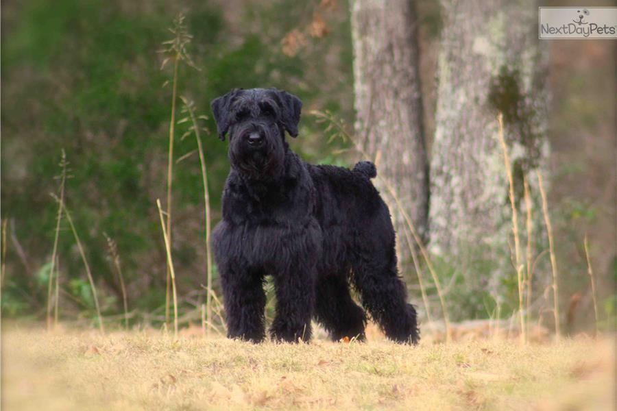 Schnauzer, Giant puppy for sale near Memphis, Tennessee ...