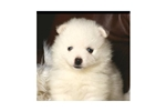 Featured Breeder of American Eskimo Dogs with Puppies For Sale