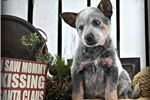 Picture of Baby Phoebe~Oh My,She Is AMAZING~AKC CHAMPION SIRE