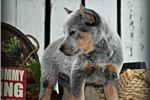 Picture of Stunning Baby Pacey!!! ~*AKC Champion Parents*