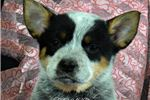 Picture of Baby Maverick!!~Such a Sweetheart~ AKC CH PARENTS~