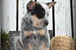 Picture of Baby Parker~Oh My,He Is AMAZING~AKC CHAMPION SIRED