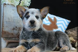 Amazing Scotty | Puppy at 9 weeks of age for sale