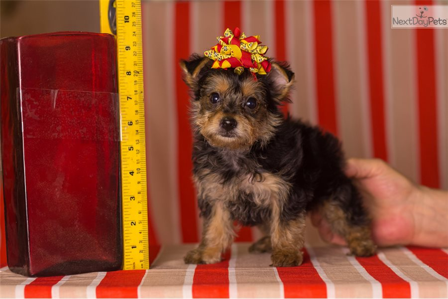 Yorkshire terrier puppies for sale in houston texas