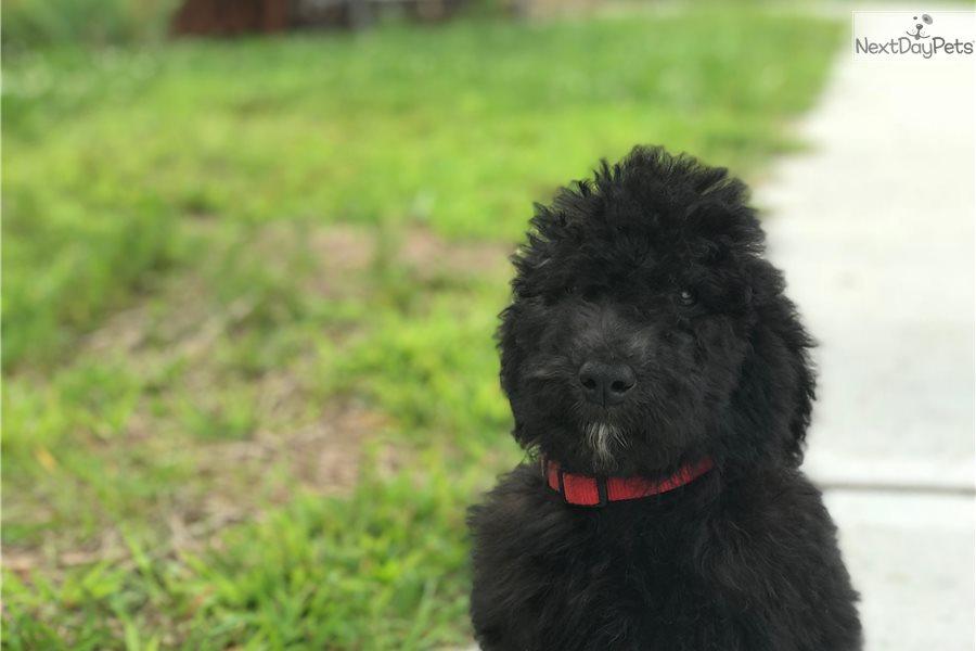 Mr Red Bernese Mountain Dog Puppy For Sale Near Cincinnati