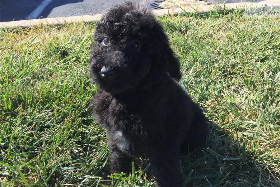 Ms  Yellow: Newfoundland puppy for sale near Cincinnati