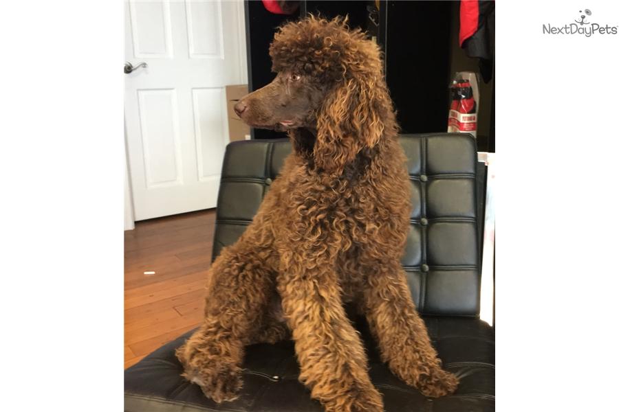 Titan Poodle Standard Puppy For Sale Near Cincinnati Ohio