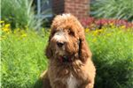 Picture of Irishdoodle - Champion Bred -Ms Red