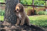 Picture of Irishdoodle - Champion Bred - Ms Pink