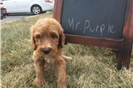 Picture of Champion Bred - Irishdoodle Puppy