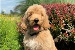 Picture of Irishdoodle - Champion Bred - Ms. Black