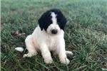 Picture of Ms. Black - F1B St Berdoodle - Champion Bred