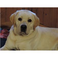 View full profile for Inner Banks Labradors