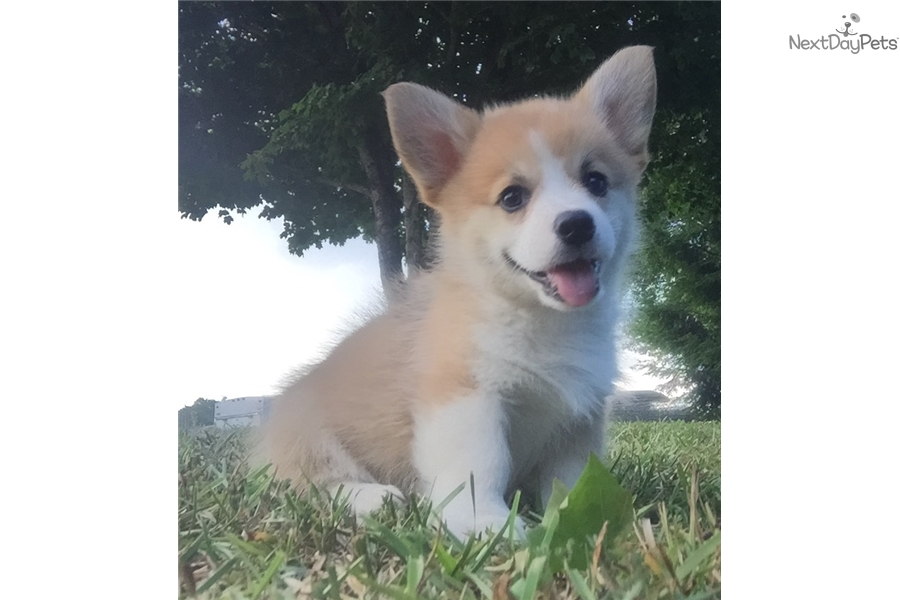 Light Red Male Welsh Corgi Pembroke Puppy For Sale Near Northwest