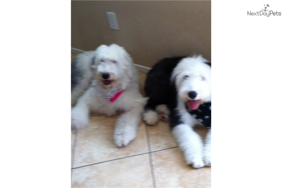 Koby: Olde English Sheepdog puppy for sale near Los Angeles