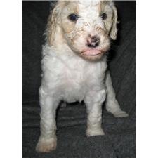 View full profile for Nebraska Poodles