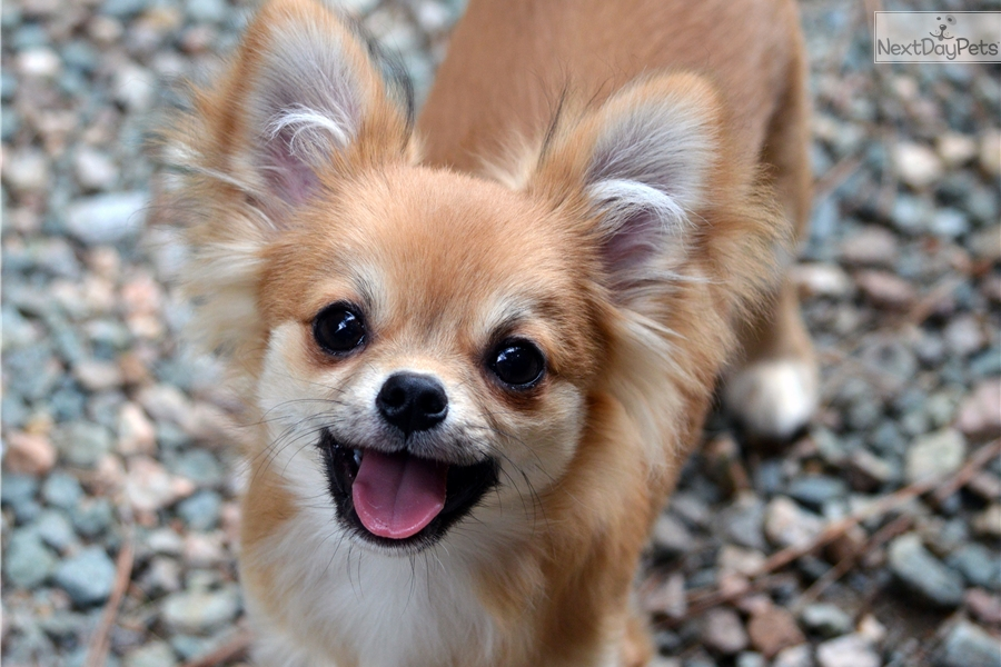 chihuahua for sale in va chihuahua puppy for sale near richmond virginia 2738