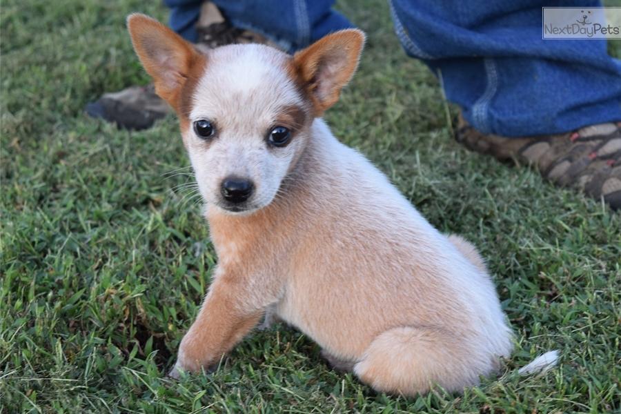 Red Australian Cattle Dog Blue Heeler Puppy For Sale Near