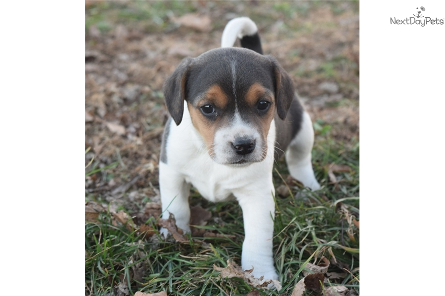 Buster Beagle Puppy For Sale Near Springfield Missouri C96ca4e7 4f41