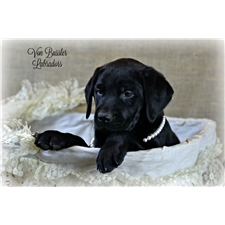 View full profile for Von Bussler Labrador Retrievers