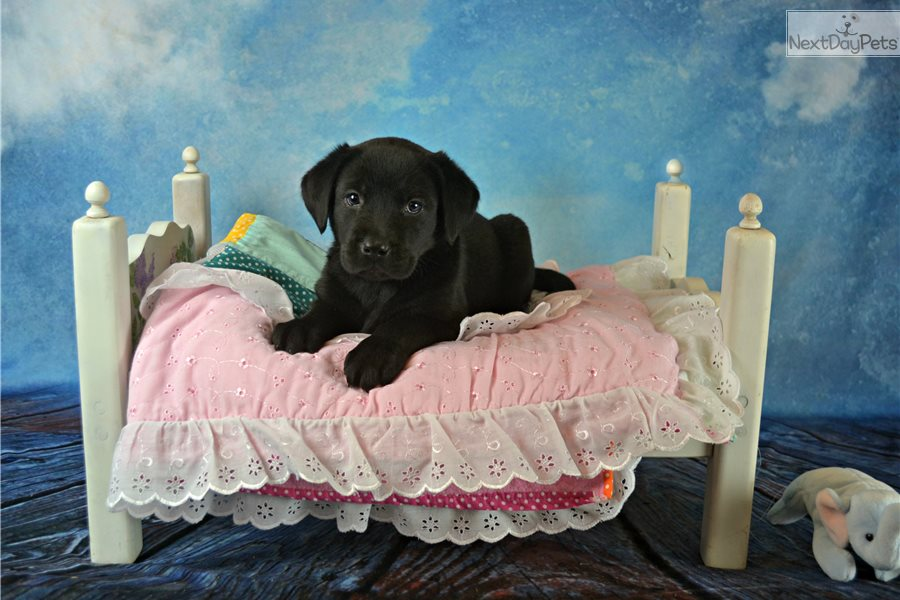 Lab puppies for sale st louis mo