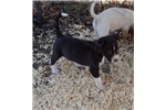 Picture of UKC Registerd puppy male
