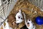 Picture of AKC Staffordshire Bull Terrier pups