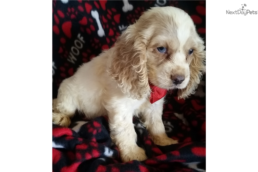 cocker spaniel for sale near me cocker spaniel puppy for sale near springfield missouri 1652