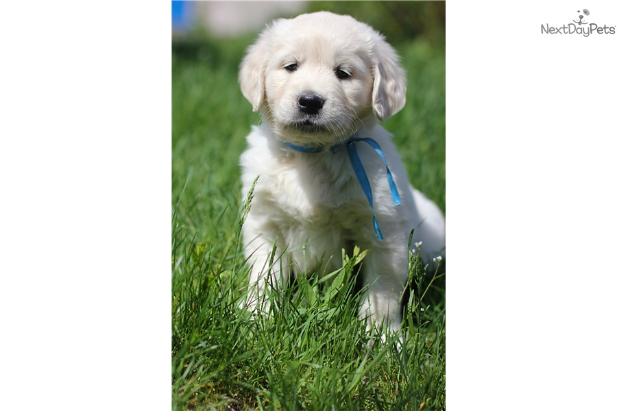 Golden Retriever puppy for sale near Ukraine | fe8be7d8-e541
