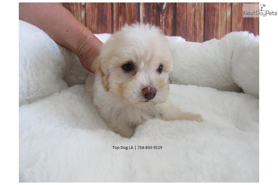 Theo Bich Poo Bichpoo Puppy For Sale Near Orange County