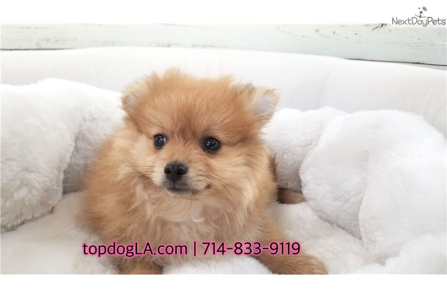 pomeranian puppies for sale in orange county abby pomeranian puppy for sale near orange county 7363