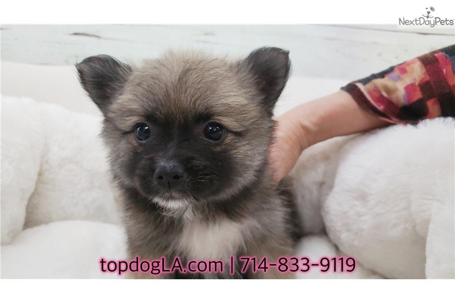 Zoey: Pomeranian puppy for sale near Orange County