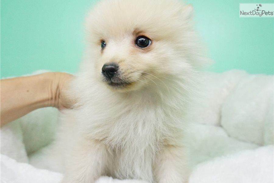 Nacho: Pomeranian puppy for sale near Orange County, California